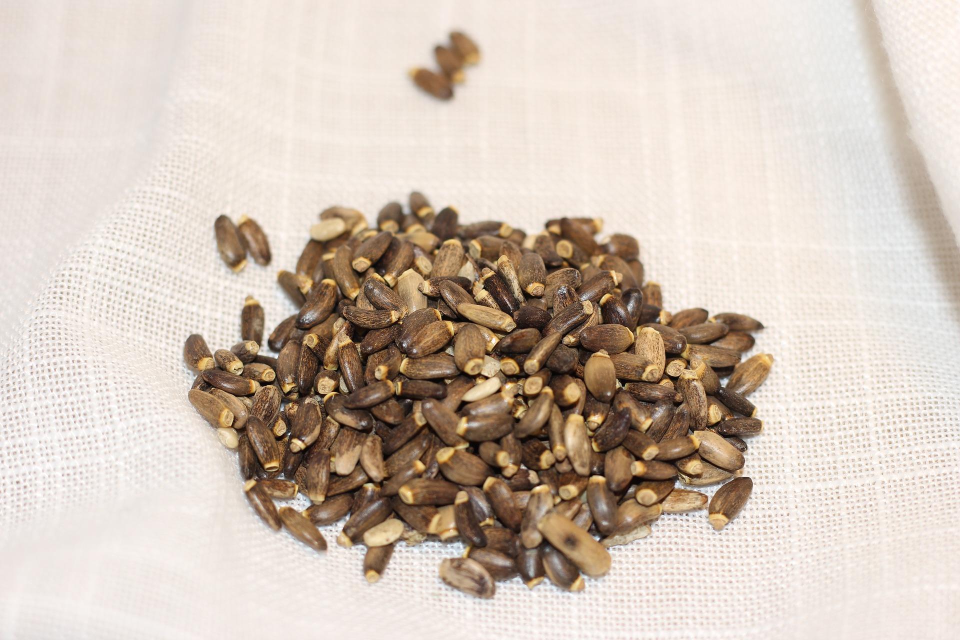 Ostropestřec mariánský, semena
