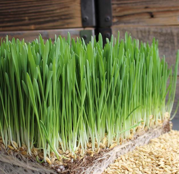 Zelený ječmen pěstování